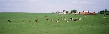 Cows grazing in a grass field