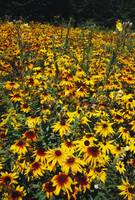 Field of blooming black-eyed sUSAn flowers (Rudbe