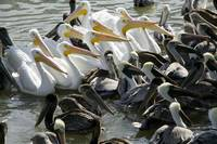 Flock of Pelicans in water