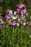 Dames rocket flowers (Hesperis matronalis) bloomi