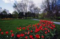 Tulip flower bed blooming in park