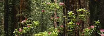 Redwood (Sequoia sempervirens) trees with pink fl