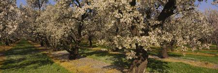 Almond trees in a park