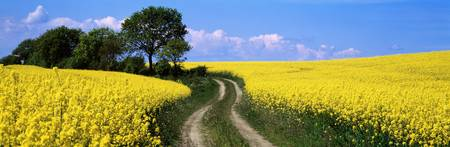 Path and Rape Fields Germany