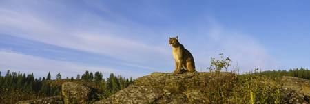 Mountain Lion sitting on a rock