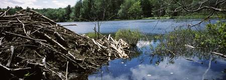 Beaver nest at a pond Beaver Pond Hubbardston Wor