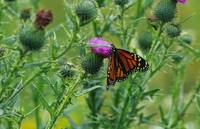 Monarch butterfly (Danaus plexippus) on thistle b