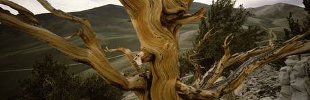 Close-up of bristlecone pine (Pinus longaeva) tre