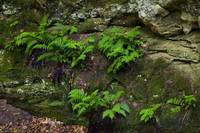 Ferns growing on rocks in Lost Canyon