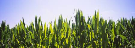 Corn crop growing in a field