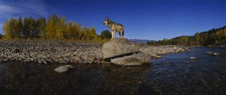 Wolf standing on a rock at the riverbank