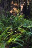 Ferns growing beside redwood trees