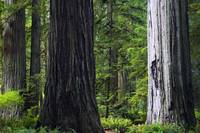 Massive redwood trees