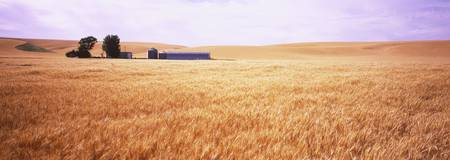 Barn in a wheat field