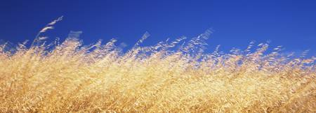 Dry grass blowing in the wind