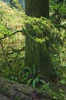 Moss draping tree branches in old-growth forest