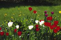Tulip flowers blooming in grass