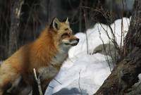 Red fox (Vulpes vulpes) in snow