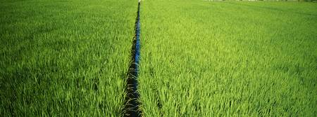 High angle view of a rice field
