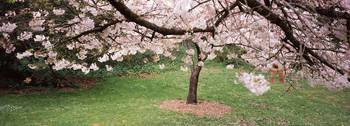 Cherry Blossom tree in a park