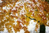Snow on autumn color leaves