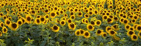 Sunflowers (Helianthus annuus) in a field