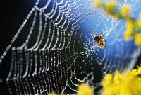 Spider on dewy web