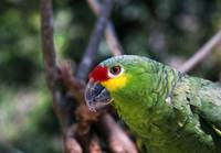 Red-naped amazon parrot