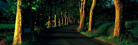 Tree Lined Road Vaucluse Provence France