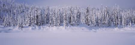 Snowcapped trees in a row