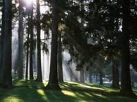 Sunbeams through misty trees
