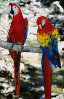 Pair of scarlet macaws on branch
