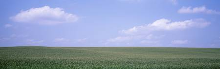 Panoramic view of cornfields