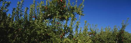 Low angle view of apple trees in an orchard