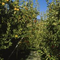 """Apple trees in an orchard"" by Panoramic Images"