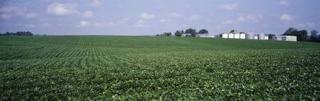 Soybean Field Tama County IA