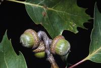 Cluster of red oak acorns