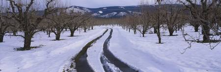 Road passing through a snow covered pear orchard