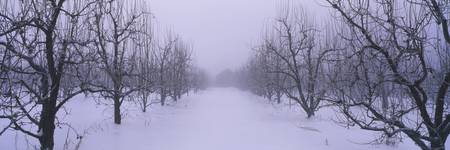 Fog over a snow covered pear orchard