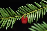 Close up of american yew branch (Taxus canadensis