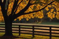 Back lit autumn color tree and fenceline