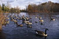 Canada geese (Branta canadensis) and mallard duck