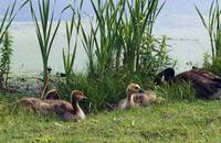 Canada geese (Branta canadensis) and goslings at