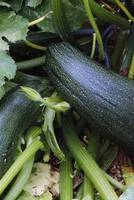 Zucchini squash growing on vine