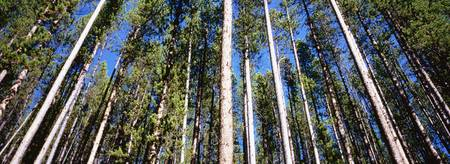 Low angle view of pine trees in a forest