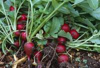 Harvested champion radishes
