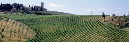 Vineyards and Olive Grove outside San Gimignano T