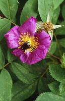 Japanese beetle in center of blooming rose flower