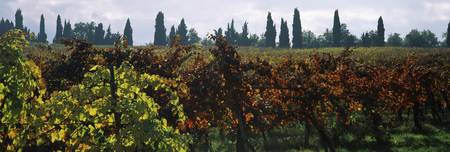 Vineyards with trees in the background