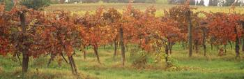 Vineyard on a landscape